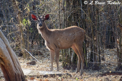 battle-scared-sambar-stag-in-tadoba-w