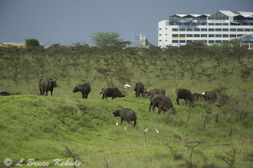 Cape buffalo in Nairobi NP