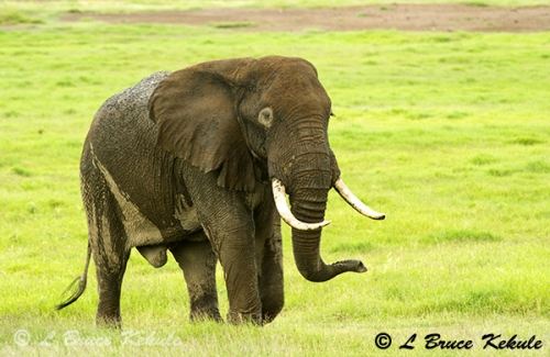 Elephant in Amboseli National Park