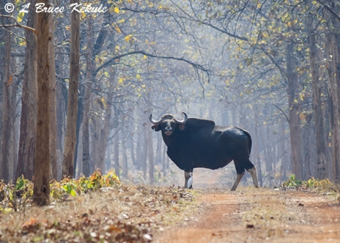 Bull gaur in Tadoba Buffer zone