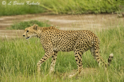 Cheetha on the prowl in Amboseli NP