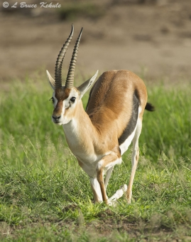 Grant's gazelle in Amboseli NP