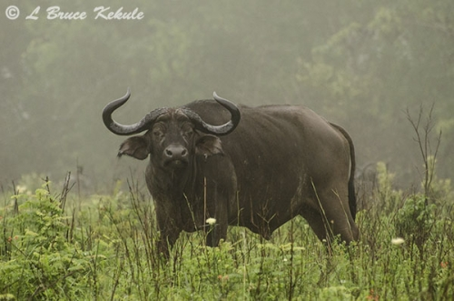Young bull Cape buffalo in Shimba Hills