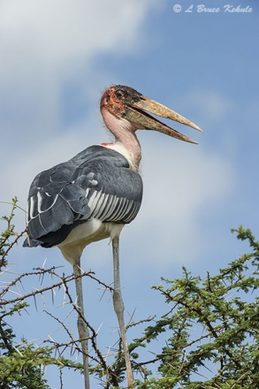 Marabou stork in Tsavo (West)