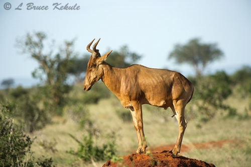 Red hartebeest in Taita WS
