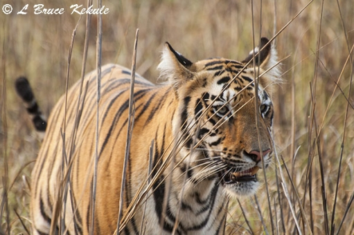 Tiger cub up-close near the lake at Tadoba