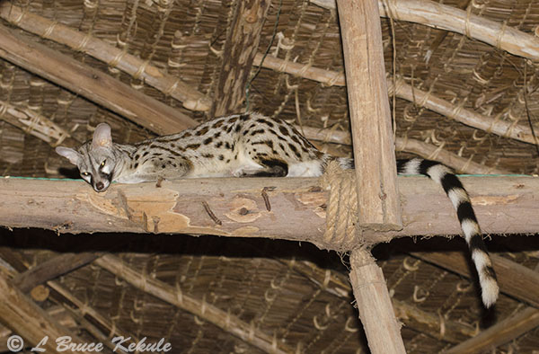 Genet cat in Tsavo (East)