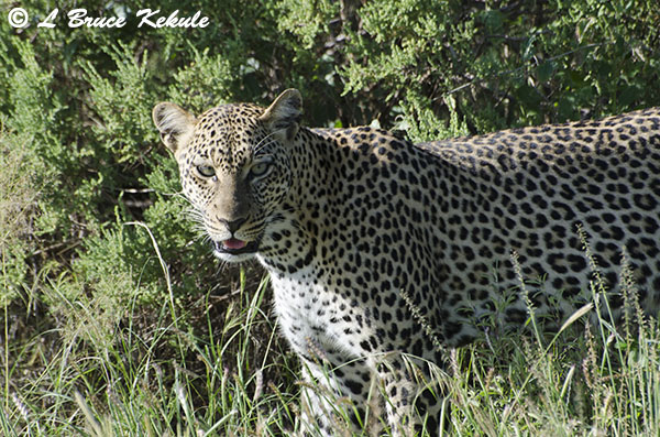 Leopard in Samburu Nationa Reserve