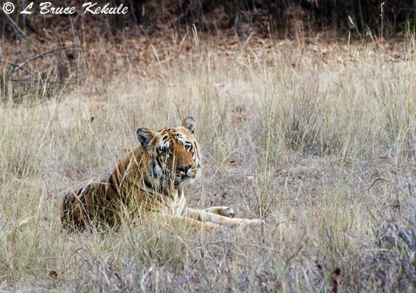 Male Tiger M-8 in Tadoba