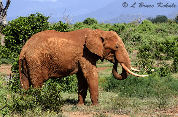 Bull elephant in Tsavo (East) NP
