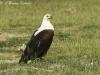 African fish eagle in Amboseli NP