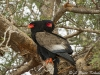 Bateleur in Tsavo (West)