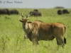 Eland bull in Nairobi NP