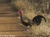 Grey jungle fowl in Tadoba