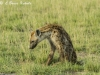 Hyena in Amboseli NP