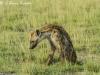 Hyena in Amboseli NP