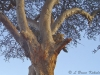 Leopard's with prey in a tree in Tsavo East National Park
