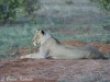 Lionese in late afternoon in Tsavo (East) NP