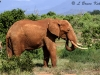 Bull elephant in Tsavo (East) NP
