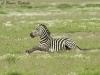 Zebra in Amboseli NP