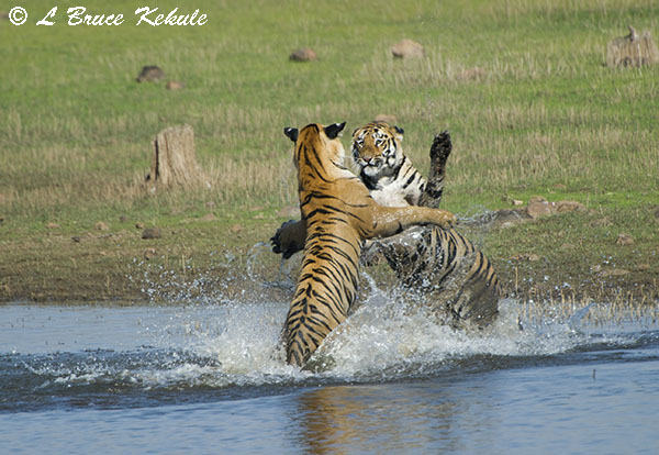 Tigers sparring in the lake at Tadoba