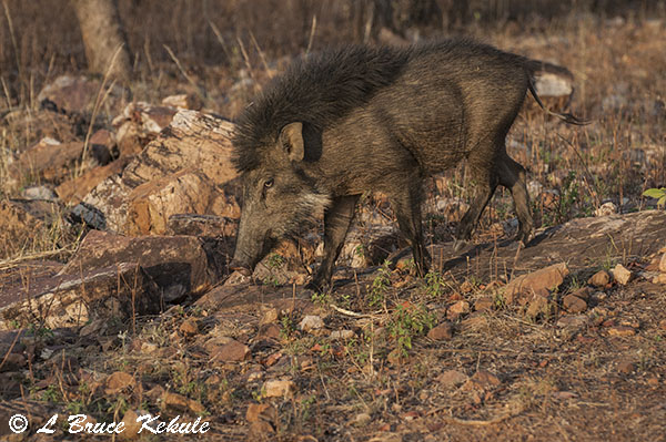 Wild pig in Tadoba
