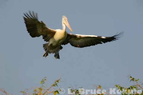 Spot-billed pelican flying