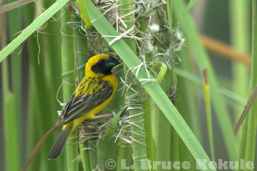 Asian golden weaver making a nest