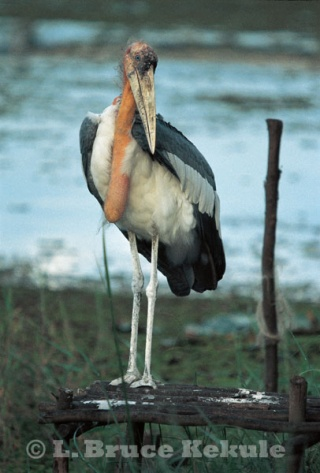 Greater Adjutant in Beung Boraphet
