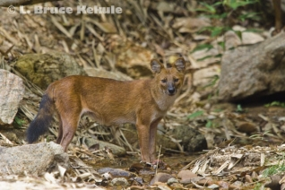 Asian Wild Dog in Kaeng Krachan NP