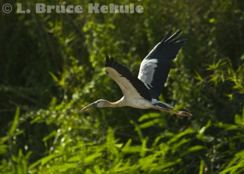Openbill flying in Beung Boraphet