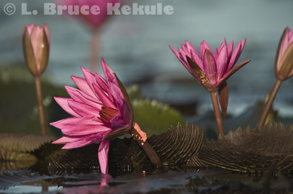 Pink water lillies in Beung Boraphet