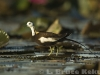 Pheasant-tailed jacana in Beung Boraphet
