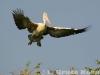 Spot-billed pelican flying