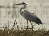 Grey heron in Beung Boraphet