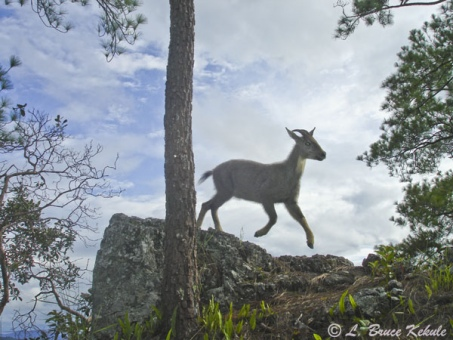 Goral jumping in Mae Lao - Mae Sae Wildlife Sanctuary