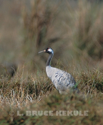 Common crane in Northern Thailand