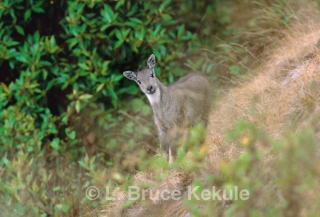 Goral kid in Doi Inthanon National Park