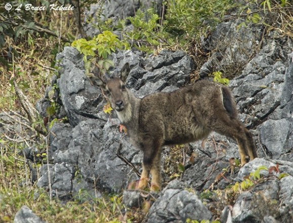 Goral male in Chiang Dao Wildlife Sanctuary