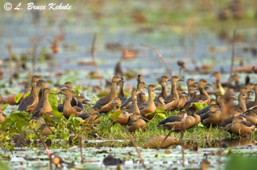 Whistling ducks in Chiang Saen lake