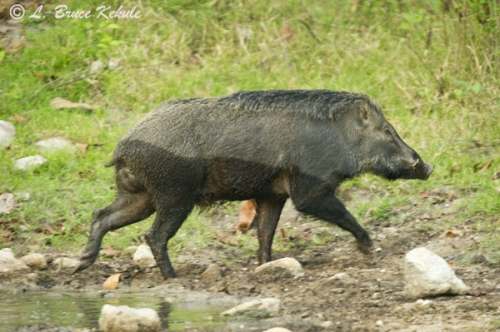 Wild boar in Om Koi Wildlife Sanctuary