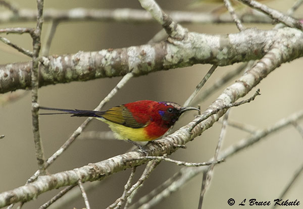 Gould's sunbird in Chiang Dao Wildlife Sanctuary