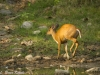 Prancing female muntjac in Om Koi Wildlife Sanctuary