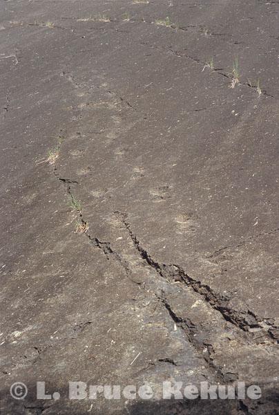 Fossil arcosaur fottprints