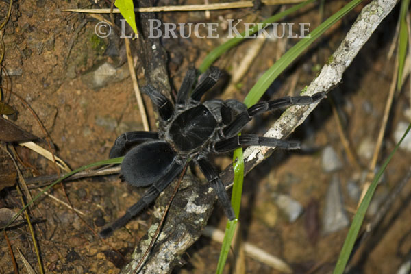Bird-eating spider in Phu Khieo Wildlife Sanctuary