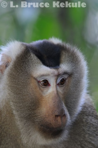 Pig-tailed Macaque in Khao Yai