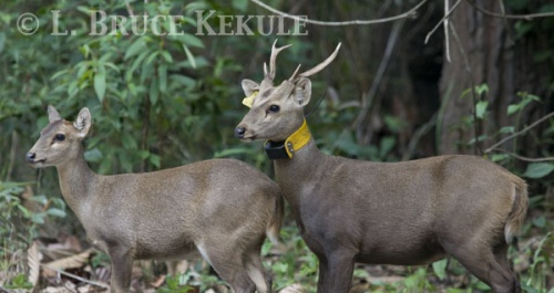 Sambar yearling in Phu Khieo Wildlife Sanctuary