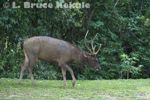 Sambar stag at campground