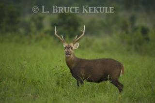 Hog deer buck in Phu Khieo Wildlife Sanctuary
