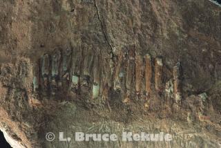 Sauropod dinosaur fossil teeth
